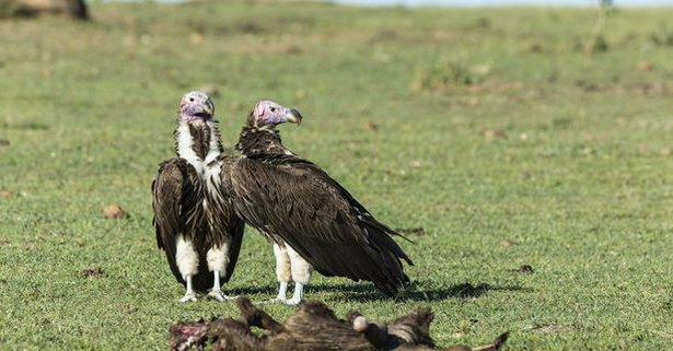 les-vautours